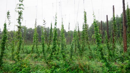 Hops growing in Norfolk County