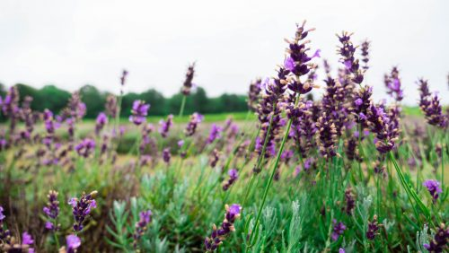 Bonnieheath Lavender and Winery